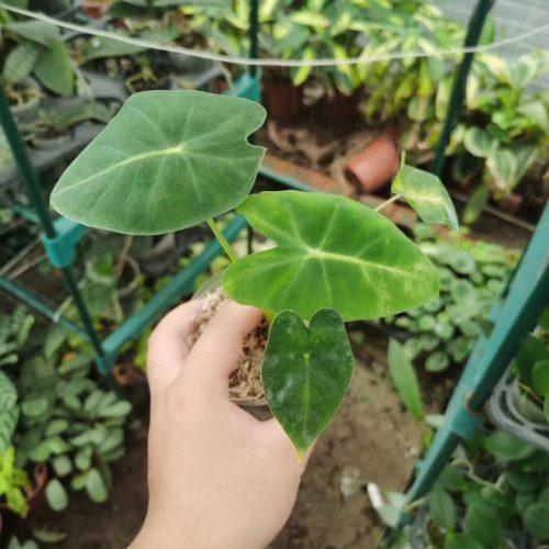 Alocasia Green Velvet (Alocasia micholitziana 'Frydek')