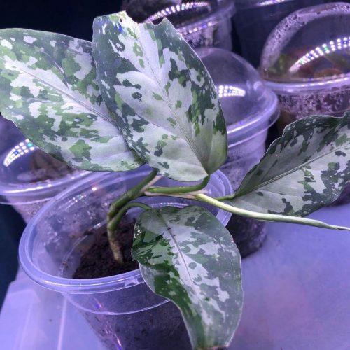 Aglaonema pictum multicolor emerald