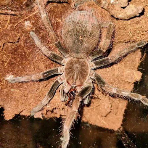 Pamphobeteus sp. Mascara