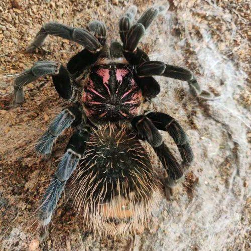 Xenesthis sp. Tenebris Tarantula