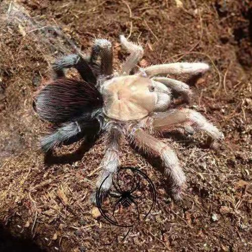 Aphonopelma diamond black