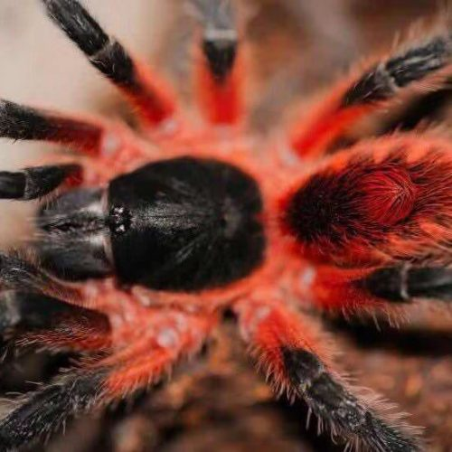 Theraphosinae sp. Panama