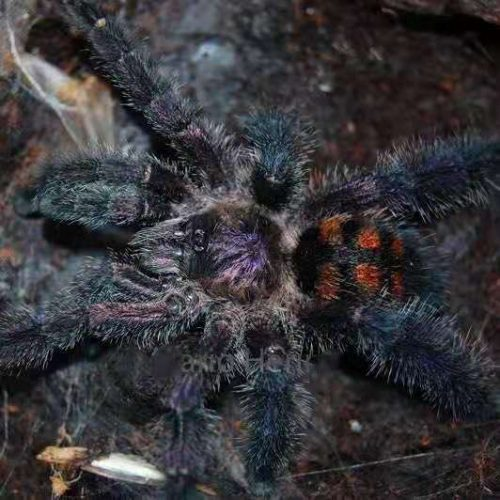 Avicularia sp Columbia
