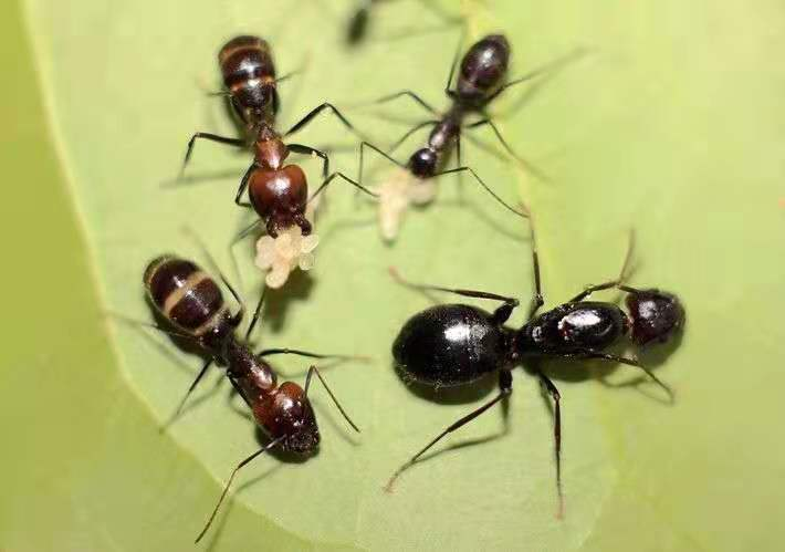 Camponotus jianghua