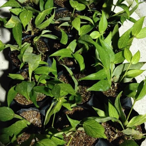 Fishtail hoya (Hoya polyneura)