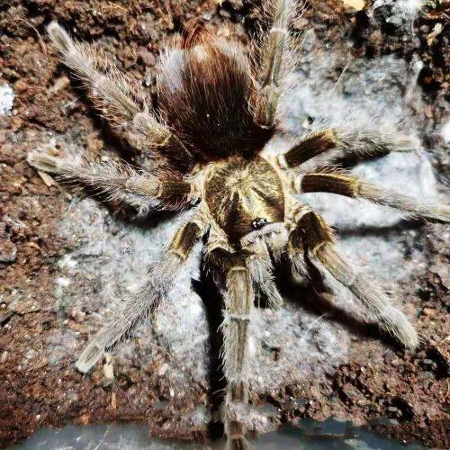 Phormictopus auratus (Cuban Bronze Tarantula)