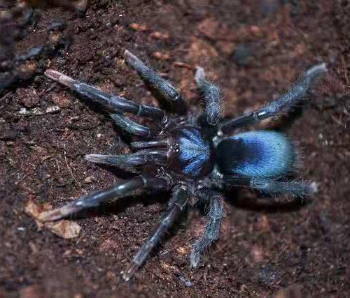 Sahydroaraneus raja (Indian Blue Dwarf Tarantula)
