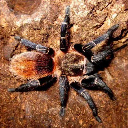 Theraphosinae sp. Cuzco