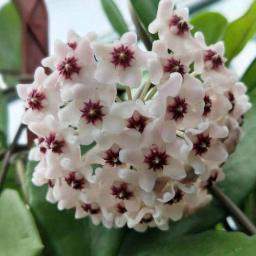 Hoya carnosa ssp. purple corona