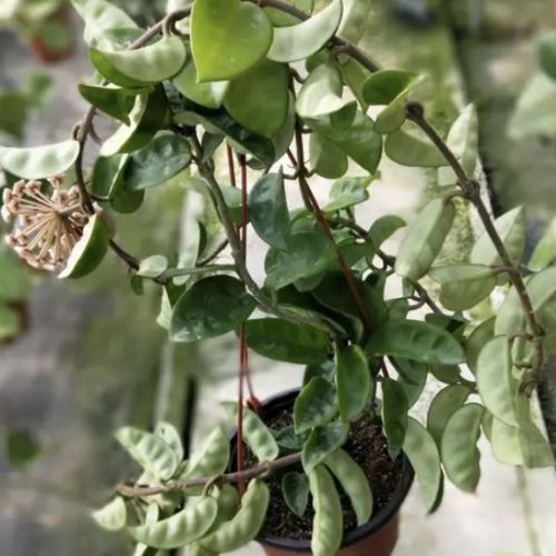 Hoya carnosa var.Krinkle