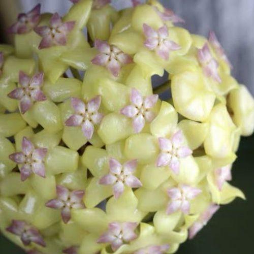 Hoya fusco marginata ' Hoya cv.Noelle '