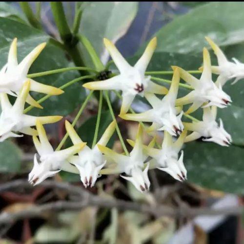 Hoya multiflora 'Shooting star Hoya'
