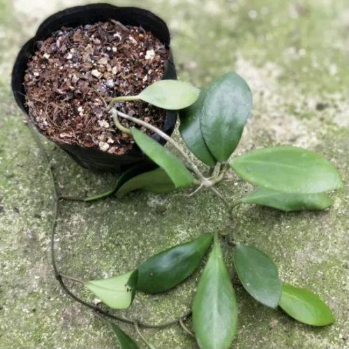 Hoya pubera 'Hoya aff. picta'