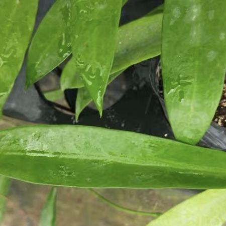 Hoya pubicalyx 'White dragon'/ Hoya celata