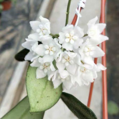 Hoya thomsonii white flower