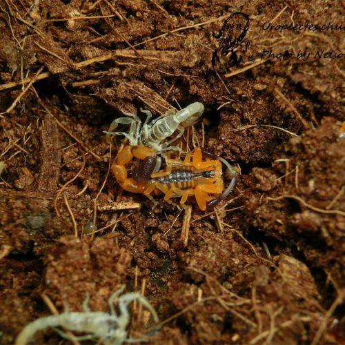 Uroplectes chubbi – Chubb's Lesser Thicktail