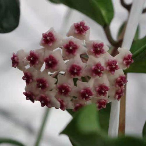 Hoya obovata variegated