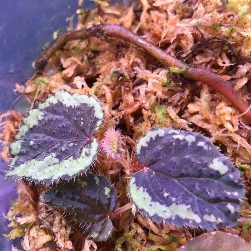 Begonia sp Indonesia