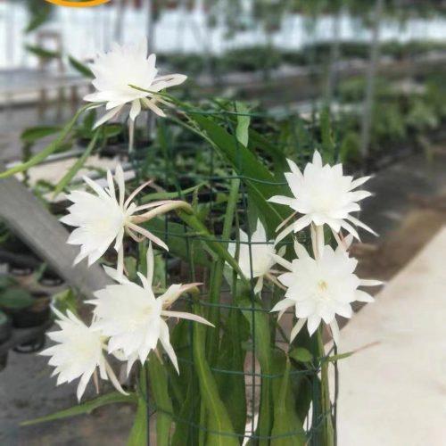 Epiphyllum pumilum britton