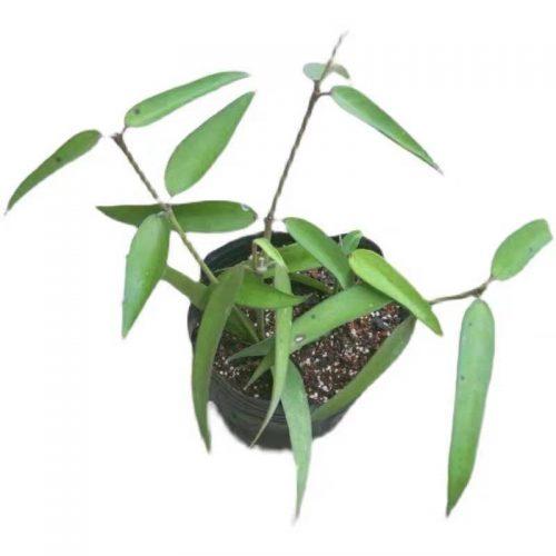 Hoya burmanica
