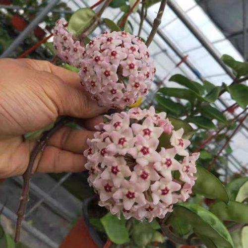 Hoya carnosa clinton