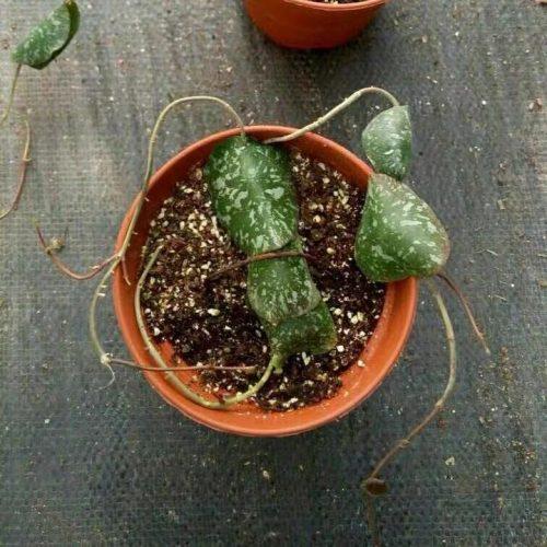 Hoya imbricate
