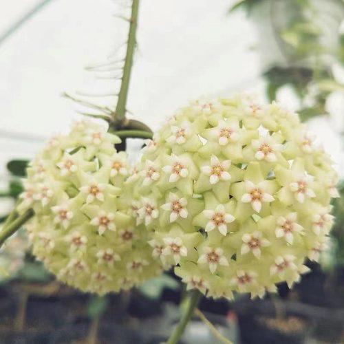 Hoya verticillata var