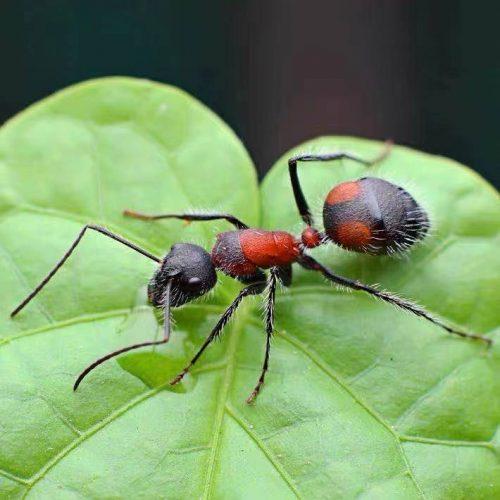 Camponotus mutilarius