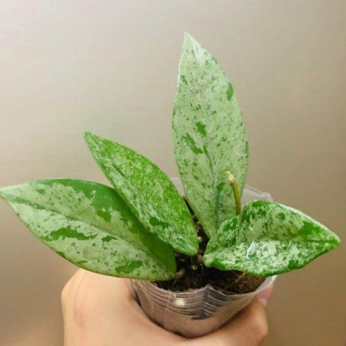 Hoya carnosa Wilbur Graves white flower