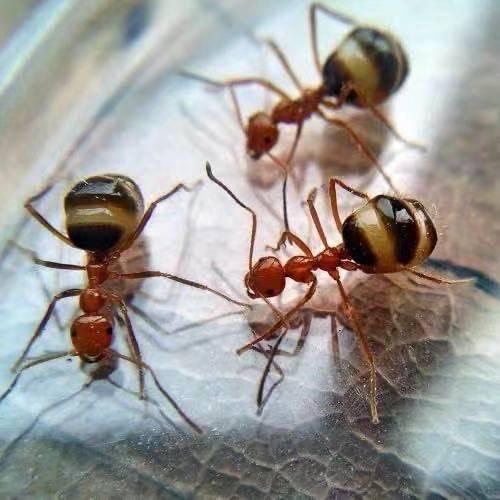 Prenolepis melanogaster