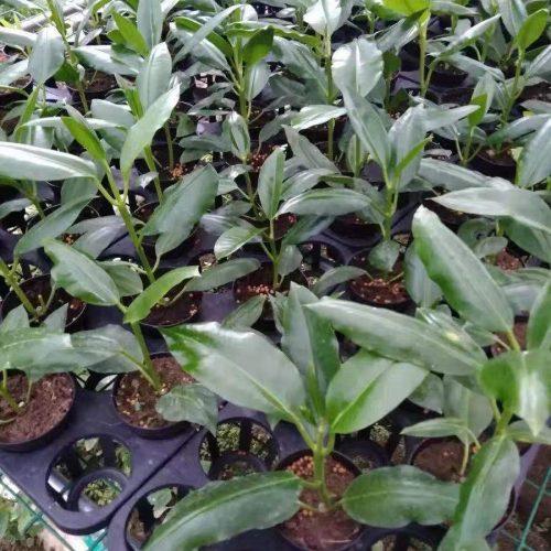 Hoya imperialis white