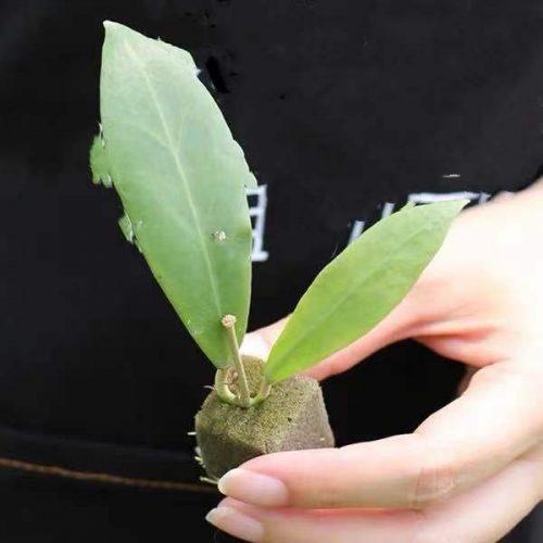 Hoya mindorensis lite yellow