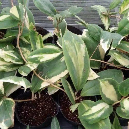 Hoya incrassata variegata MoonShadow