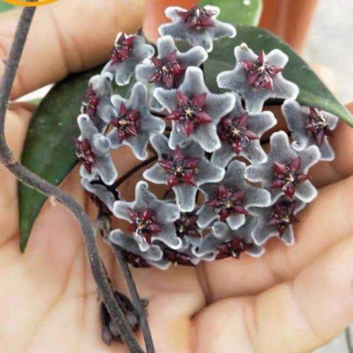 "Hoya pubicalyx ssp. ""black button"""