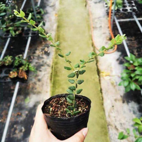 Hoya pyrifolia