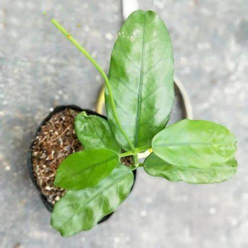 Hoya sp. motuo