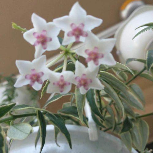 Hoya bella variegated