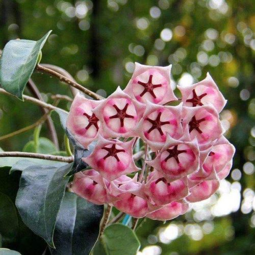 Hoya archboldiana ssp. pink