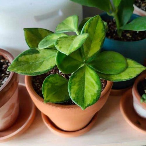 Hoya australis variegata