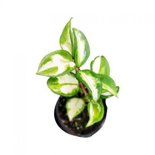 Hoya carnosa var