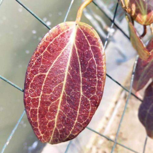 Hoya merrillii
