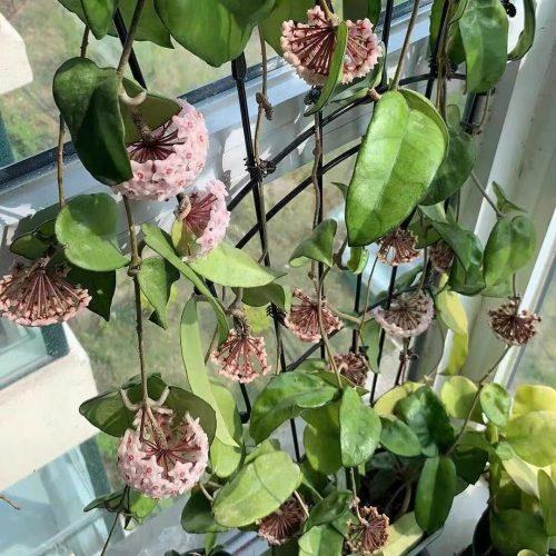 Hoya Jadeite (jad001)