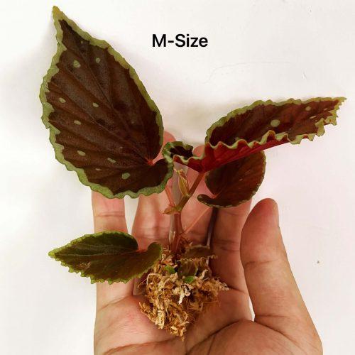 Begonia (darthvaderiana x malachosticta)