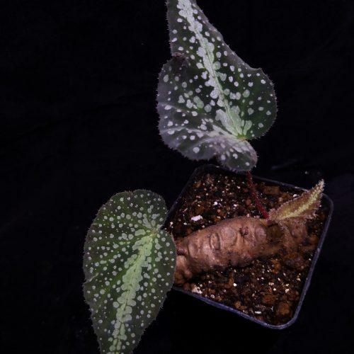 Begonia larvata