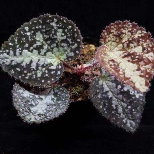 Begonia variifolia