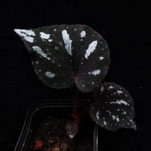 Begonia balansana