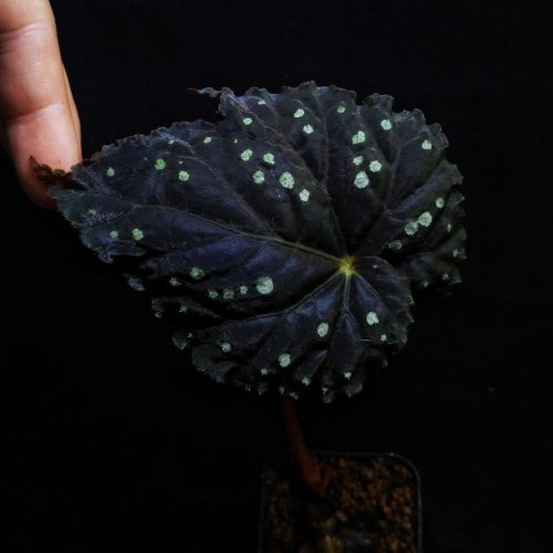 Begonia sp starry sky round leaves