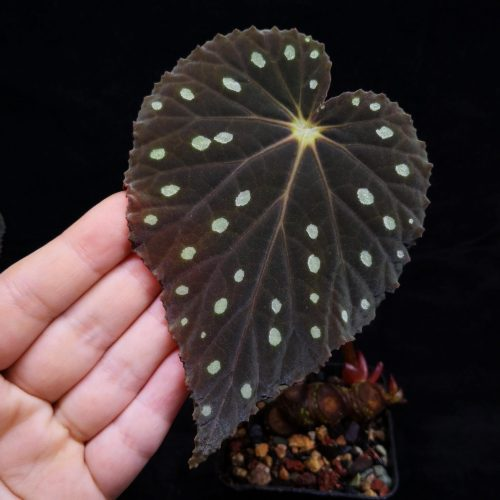 Begonia sp starry sky thin leaves