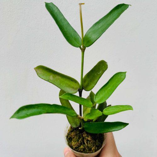 Hoya pandurata