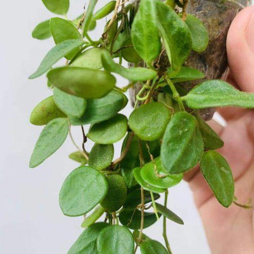 (Rare) Hoya tengchongensis